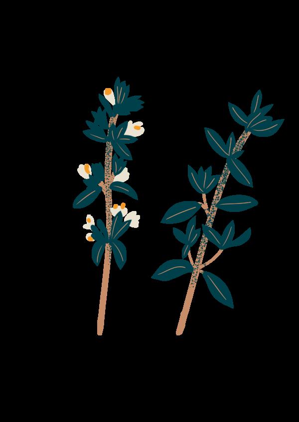 Thym citronné bio Illustration Biohême