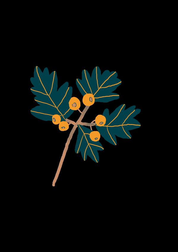 Aubépine - herbo bio vrac