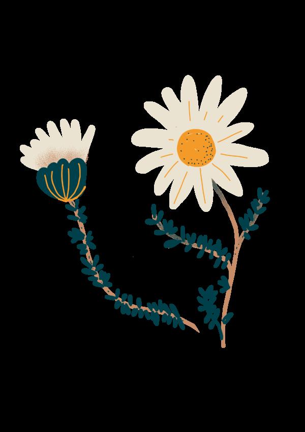 Camomille bio Illustration Biohême