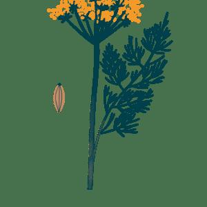 Fenouil bio Illustration Biohême
